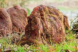 Ademwortels (pneumatoforen) van een moerascipres (Taxodium distichum) 11-11-2020 (d.j.b.) 02.jpg