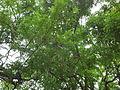 Adenanthera pavonina, Brazil.jpg