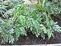 Adiantum peruvianum (Jardin des Plantes de Paris).jpg