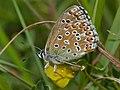 "Adonis Blue Butterfly (Lysandra bellargus) female ""ceronus"" form (14172919209).jpg"