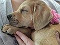 Adorable sleeping puppy.jpg