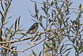 Aegithalos caudatus - Long-tailed Tit, Adana 2016-10-29 01-2.jpg