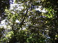 Aextoxicon punctatum Ruiz et Pav. by Pato Novoa 07.jpg
