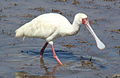 African Spoonbill, Platalea alba at Pilanesberg National Park, South Africa (10578845506).jpg