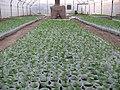 After 12 days,Varamin روز کاشتن در گلخانه - panoramio.jpg