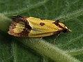 Agapeta zoegana - Sulphur knapweed moth - Листовёртка васильковая (40607230384).jpg