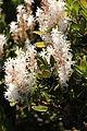 Agastachys odorata flowers (BG SA) E25B.JPG