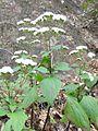 Ageratina adenophora plant4 (11508100084).jpg