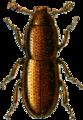 Aglenus brunneus Jacobson.png