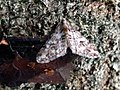 Agriopis leucophaearia 110859646.jpg