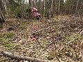 Agrs pavasaris- zalktene - panoramio.jpg