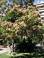 Ailanthus altissima - Αείλανθος ο υψηλότατος 03.jpg