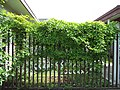 Akebia quinata (vine, fruits, flowers) 03.jpg