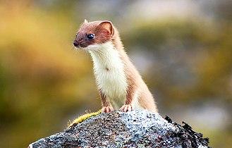 Least weasel - Alaskan weasel Mustela n. eskimo