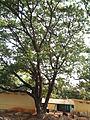 Albizia saman (Raintree) (7).jpg