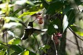 Allen's Hummingbird (female) Five Brooks Marin CA 2019-03-13 12-10-35 (48265787671).jpg