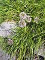 Allium lusitanicum syn. Allium senescens subsp. montanum Czosnek skalny 2018-08-12 02.jpg