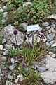 Allium sacculiferum Allium komarovianum GiardinoBotanicoAlpinoViote 20170902 H.jpg