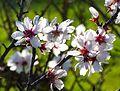 Almond blossom 171 (32710905914).jpg