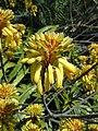 Aloe camperi HH.jpg