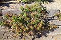 Aloe ciliaris - San Francisco Botanical Garden - DSC09776.JPG