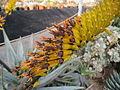 Aloe flowers (5643969969).jpg