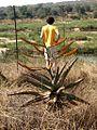 Aloe im Marloth Park.jpg