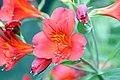 Alstroemeria Sancho Red 0zz.jpg