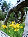 Alstroemeria aurea PN Villarrica por Pato Novoa - 002.jpg