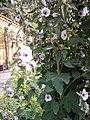 Althaea officinalis plant.jpg