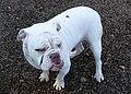 Altman White English Bulldog.jpg