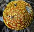 Amanita flavoconia 50403.jpg