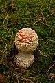 Amanita muscaria (29778155880).jpg