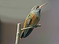 Amazilia Hummingbird RWD2.jpg