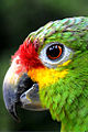 Amazona autumnalis -Jungle Island theme park -Miami -USA-8a.jpg