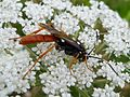 Amblyjoppa fuscipennis. Large Ichneuman Wasp - Flickr - gailhampshire.jpg