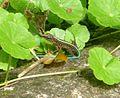 Ameiva festiva (Central American Whiptail) - Flickr - S. Rae.jpg