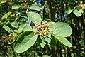 Amelanchier spicata kz2.jpg