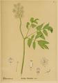 American Medicinal Plants-010-0067.png