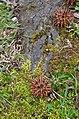 American Sweetgum Liquidambar styraciflua Seed Cones 1.JPG