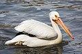 American White Pelican 5691.jpg