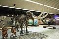 Amerikanischer Urelefant, Senckenberg, 2017-10-12.jpg