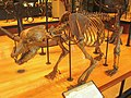 Amherst College Museum of Natural History - IMG 6450.JPG