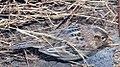Ammodramus savannarum 1zz.jpg