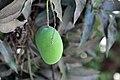 Amrapali Mango (2).jpg