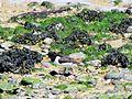 Amrum austernfischer mit kueken zoombild vom stenodder kliff ds 05 2009.jpg