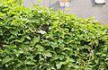 Amsel im Nest (9010433726).jpg