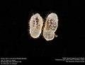 Anchor hairs on ant larvae (Pheidole dentata) (41517609384).jpg