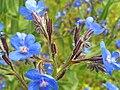 Anchusa azurea FlowersCloseup 26April2009 DehesaBoyaldePuertollano.jpg