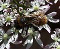 Andrena cf fulva (worn female) - Flickr - S. Rae.jpg